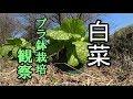 白菜鉢栽培/プランター栽培/Chinese cabbage Planter cultivation
