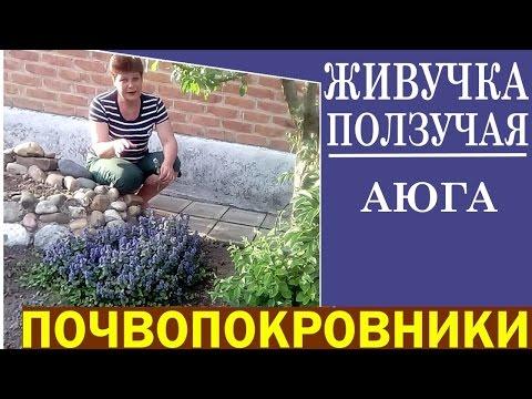 Почвопокровные растения для сада Живучка ползучая Аюга