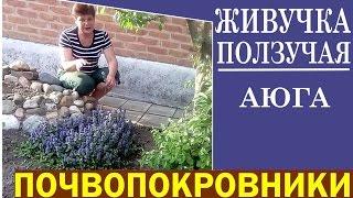 видео Аюга (Живучка)