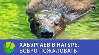 Бобро пожаловать - Хабургаев в натуре   Живая Планета