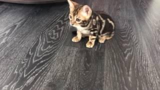 Бенгальский котёнок мрамор на золоте (3 мес)