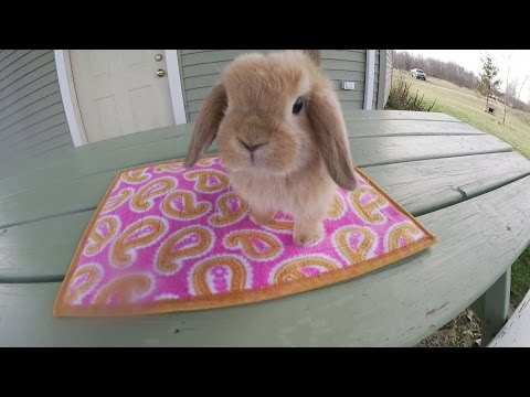 Holland Lop Bunny Playdate December 2015