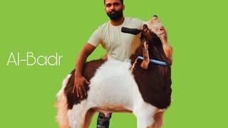 Al Badr Kota Goat at SM Goat Farm Pune