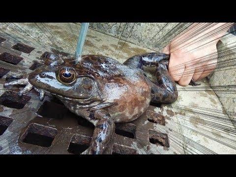 【特定外来生物】巨大ガエルを一瞬で締める方法がすごかった!!!