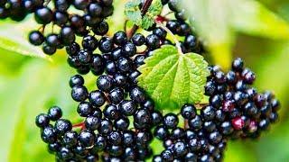5 Incredible Health Benefits Of Elderberries