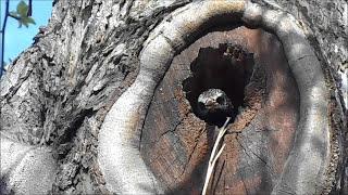 Скворцы  Весной / Гнездо Скворца / Starlings spring / Jack Starling