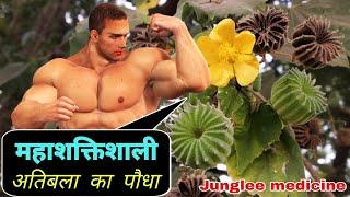 अतिबला का पौधा एक महाशक्तिशाली जड़ीबूटी है Atibala ke fayde or Nuskhe /Abutilon indicum