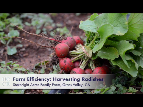 UC Cooperative Extension: Farm Efficiency: Harvesting Radishes