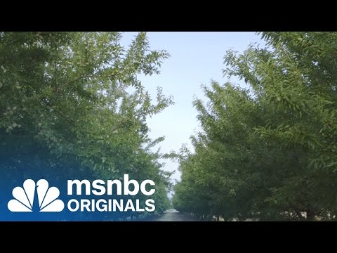 What California's Almond Farms Really Look Like | Originals | msnbc