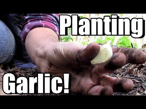 Planting Music Garlic & Pioneer Garlic (a Cold Hardy Softneck)!