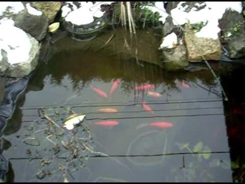 Mon bassin poissons en hiver youtube for Poisson comete bassin