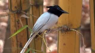 Asian Paradise Flycatcher Thumbnail
