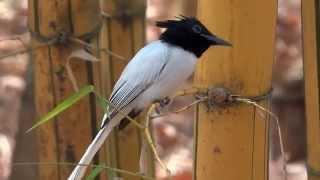 Asian Paradise Flycatcher Thumbnail