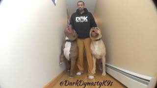 Amazing Pitbulls Showing You Their Power !