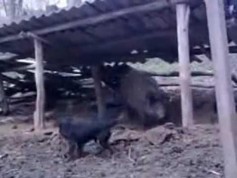 СРОЧНО продам щенков ягдтерьера от рабочих родителей) - YouTube