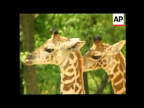 Thumbnail: South Korea - Rare twin giraffes