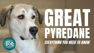 Great Pyredane Dog Breed Information | Dogs 101  Great Pyredane