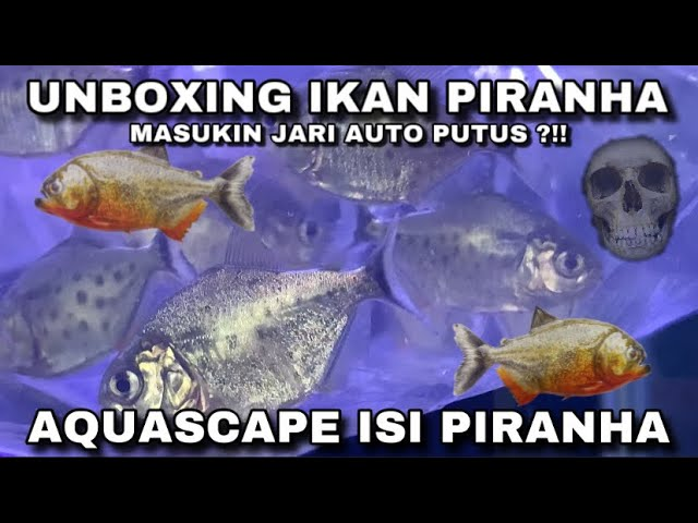 Unboxing Ikan Piranha Ikan Piranha Ditaruh Di Aquascape Mantafff Youtube