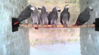 African Grey Parrot's in (Preethi Farms)