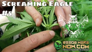 Screaming Eagle Update 5- Pulling the Males   How to sex weed plants