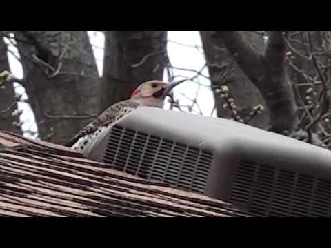 Woodpecker pecking at metal roof vent at 7am sounds like a machine gun inside the house