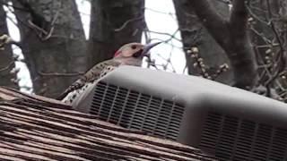 Video Woodpecker pecking at metal roof vent at 7am sounds like a machine gun inside the house download MP3, 3GP, MP4, WEBM, AVI, FLV Oktober 2018