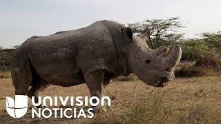 Adiós a Sudán, el último macho de rinoceronte blanco del norte en el mundo