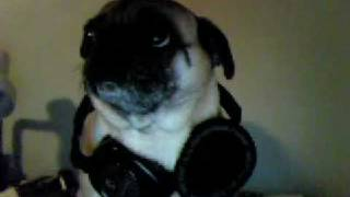 The Pug Who Has Skull Candys