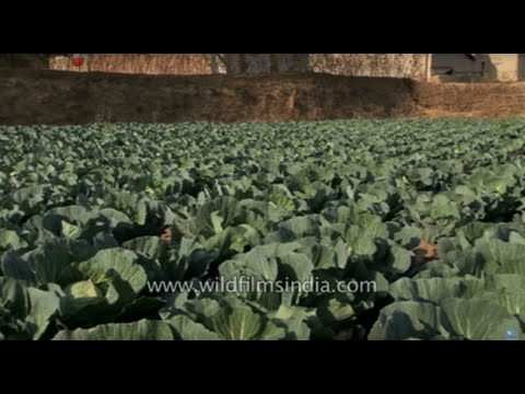 Cabbage cultivation in West Bengal