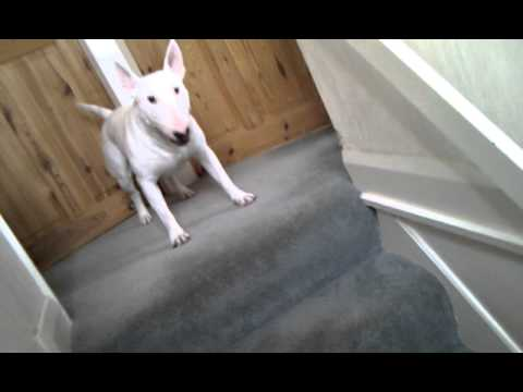 Bull terrier crazy funny dog