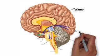 Partes del Cerebro Humano y sus Funciones