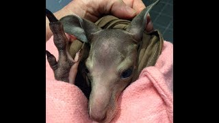 Rescued kangaroo immediate care:  this is Groucho thumbnail
