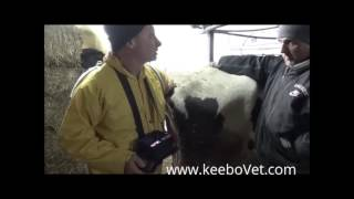 Ultrasound Scanner RKU-10 Able to Diagnose a Cow That Is 29 Days Pregnant