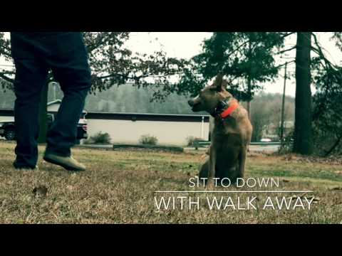 Australian Cattle Dog Puppy trains with Off Leash K9 Training, Maryland