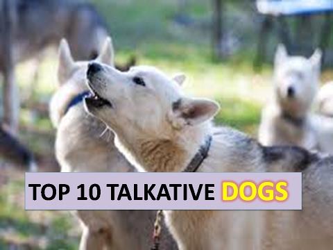 TOP 10 TALKATIVE DOG BREEDS