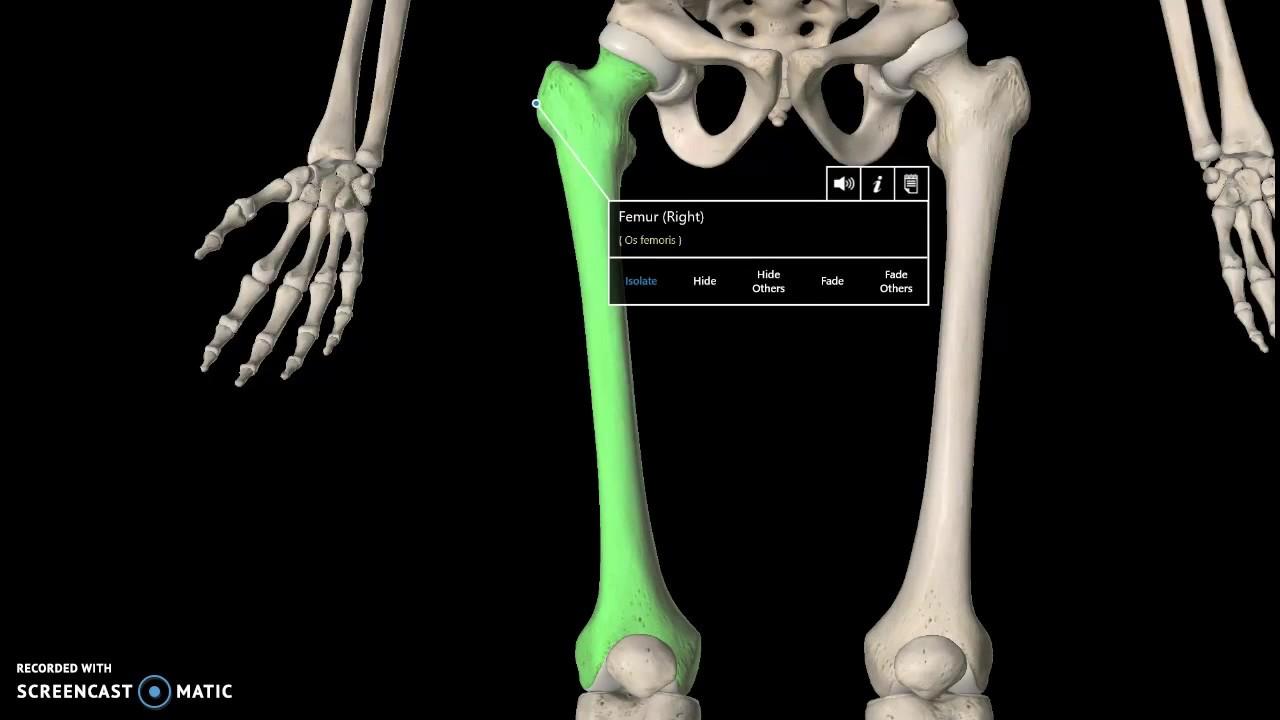 Femur Anatomy Tutorial Bone Youtube