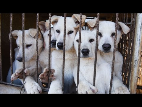 South Korea Dog Meat Dogs Wait for Freedom