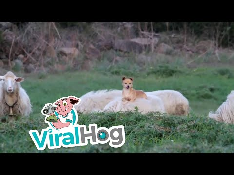 Doggo Makes Sheep Friends || ViralHog