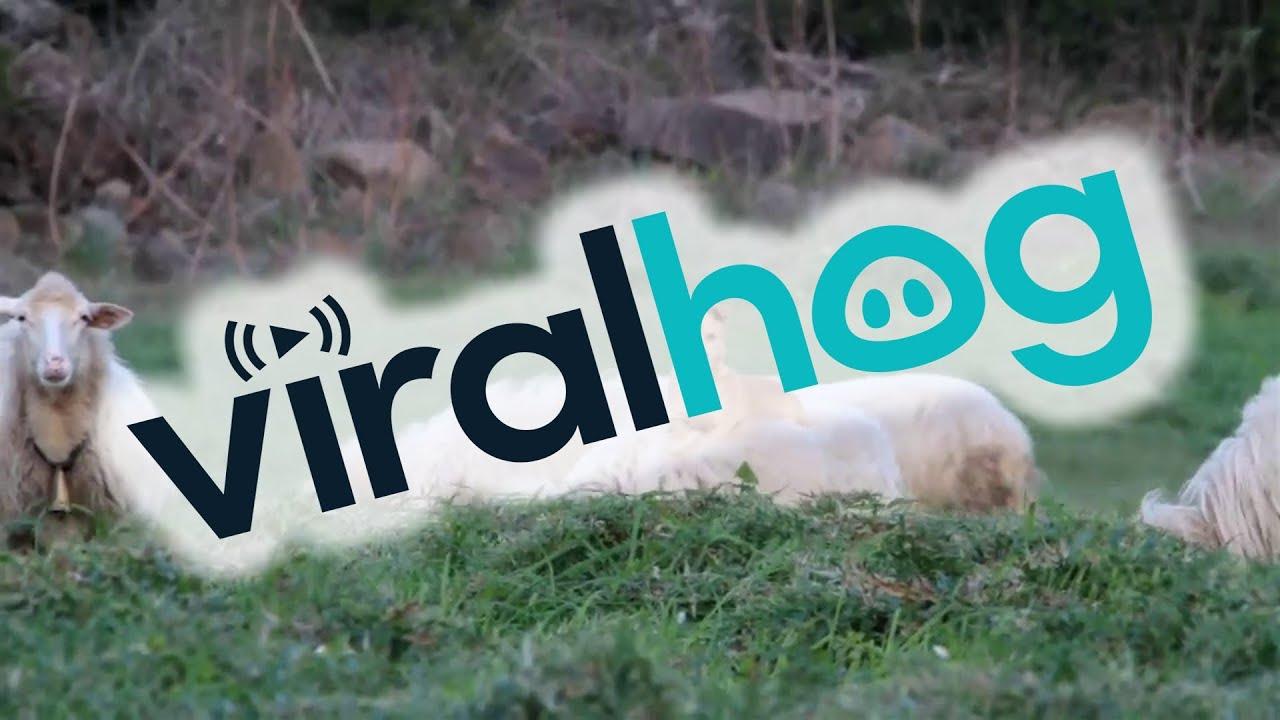 Doggo Makes Sheep Friends