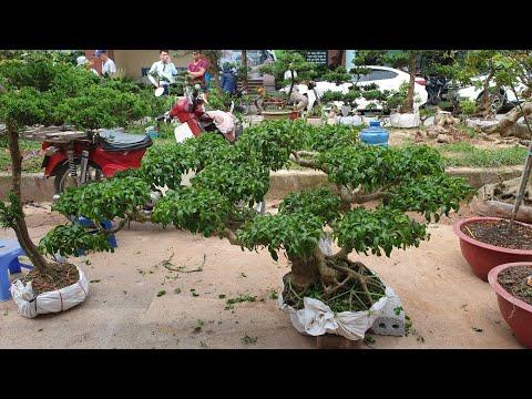 SH.2657.Báo giá 4,5tr cây Sanh này đẹp đấy các bác, nhiều cây Bonsai các loại được báo giá hôm nay