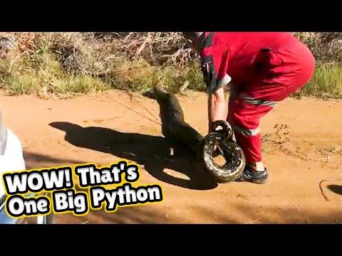 HUGE African rock python rescued in South African grassland