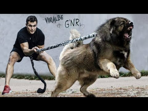 The 10 Strongest Shepherd Dog Breeds