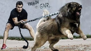 The 10 Strongest Shepherd Dog Breeds