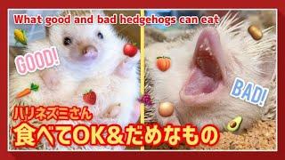【ハリネズミ】ハリネズミさんが食べていいものと悪いもの!