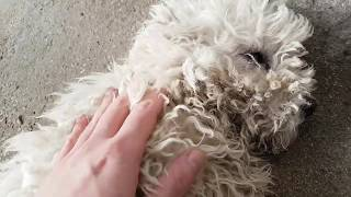 Rare Hungarian White Puli Puppy Loves Scraches