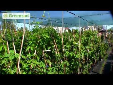 Растение жимолость: фото и описание сортов, посадка и уход