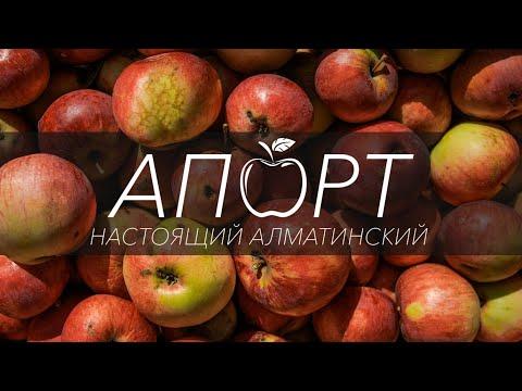 Настоящий Алматинский Апорт | алматы | апорт | apple