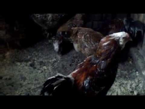 Куры орловские ситцевые
