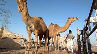 Camel courting