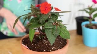 How To Plant Impatiens In A Container : Indoor Planting